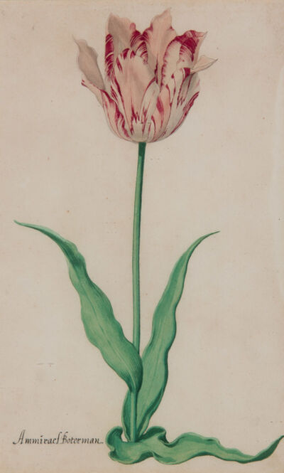 Pieter Holsteyn, the younger, 'Study of the Admirael Boterman Tulip', ca. 1645