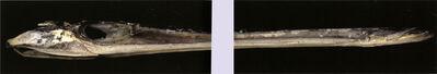 Sandy Gellis, 'Ocean Fragments: Needle Nose Fish', 1995