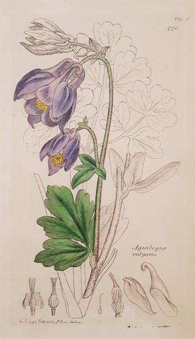 James Sowerby, 'Aquilegia Vulgaris (Common Columbine)', 1796