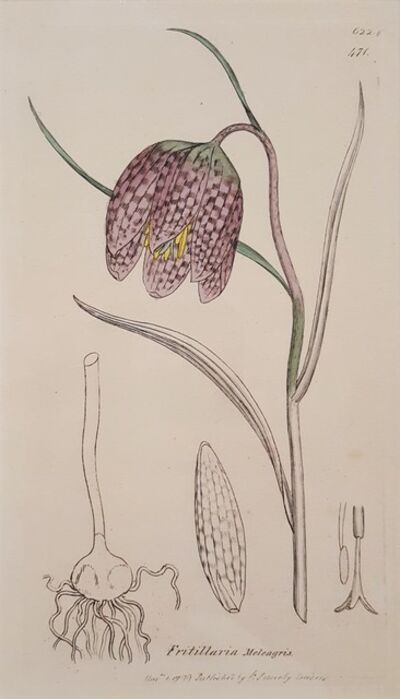 James Sowerby, 'Fritillaria Meleagris (Snake's Head Fritillary)', 1799