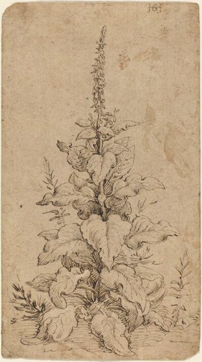 Hendrik Goltzius, 'A Foxglove in Bloom', 1592
