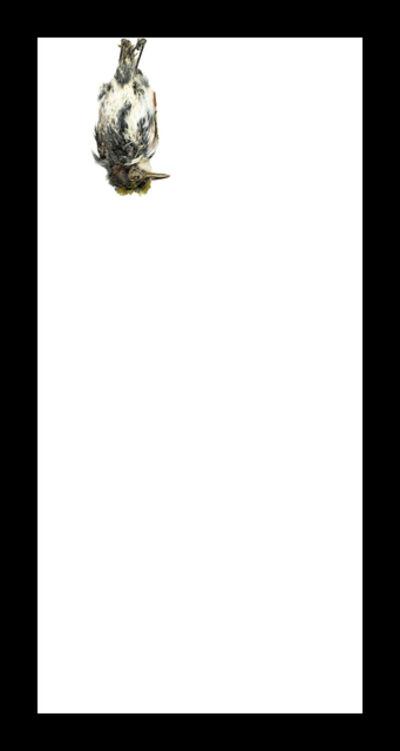 Thaddeus Holownia, 'Chestnut-sided Warbler', 2017