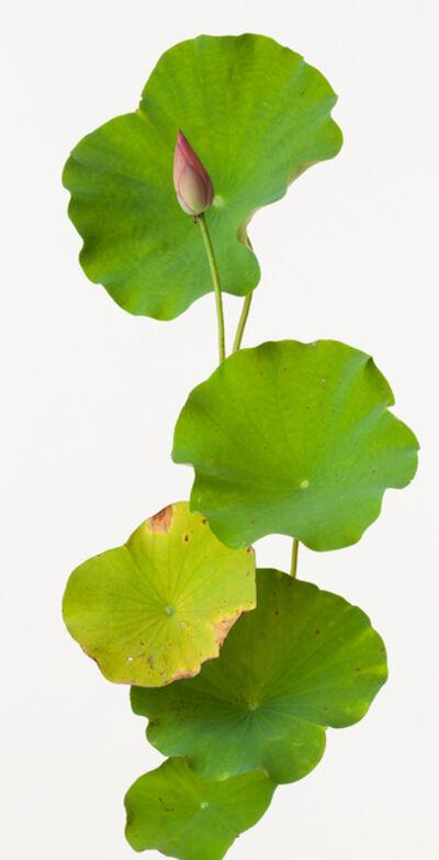 Takashi Tomo-oka, 'Benisagi Lotus', 2014