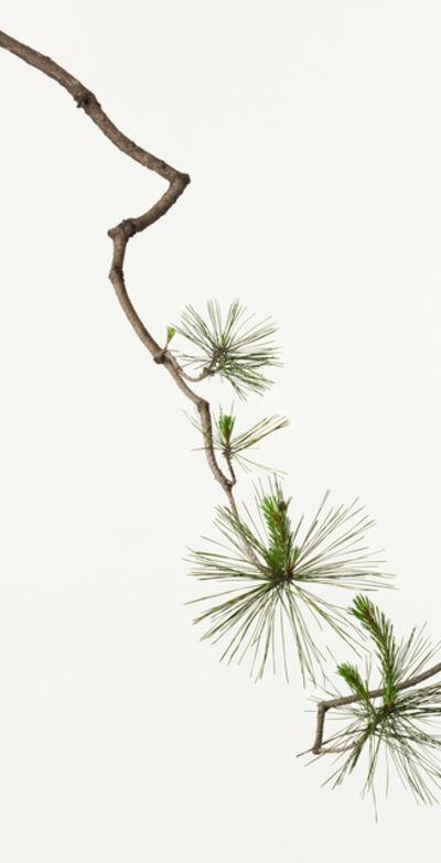 Takashi Tomo-oka, 'Matsu ( Pine Tree )', 2013