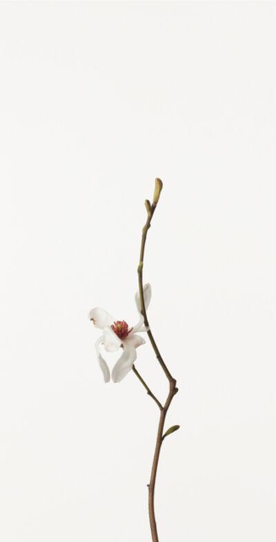 Takashi Tomo-oka, 'Kobushi Magnolia', 2010