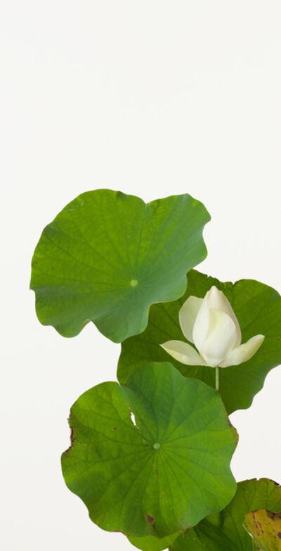 Takashi Tomo-oka, 'Hasu ( Lotus )', 2012