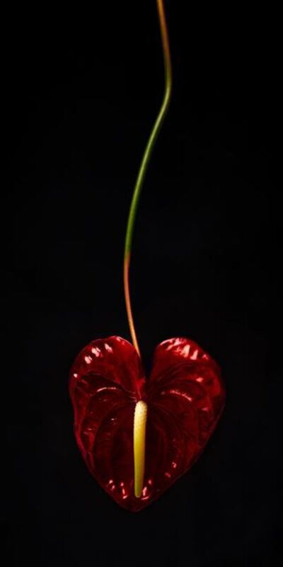 Alina Gozin'a, 'Red Heart Flower Black'