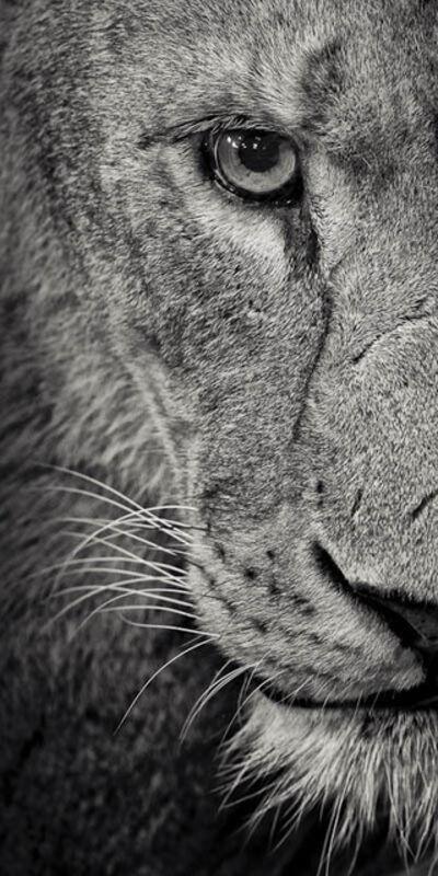 Paul Coghlin, 'Lioness Stalking', 2012