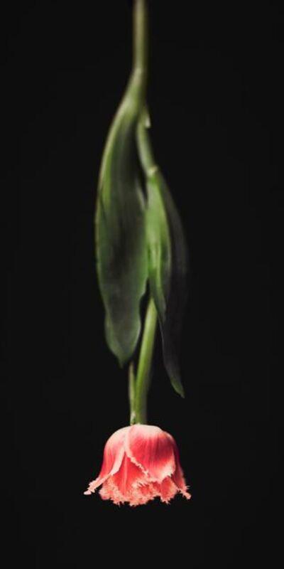 Alina Gozin'a, 'Tulip Black'