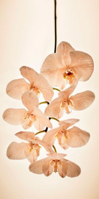 Alina Gozin'a, 'Orchid White'