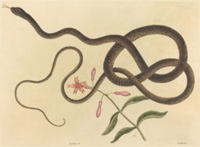Mark Catesby, 'The Coach-whip Snake (Coluber flagellum)', published 1731-1743