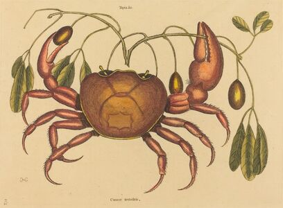 Mark Catesby, 'The Land-crab (Cancer ruricola)', published 1731-1743