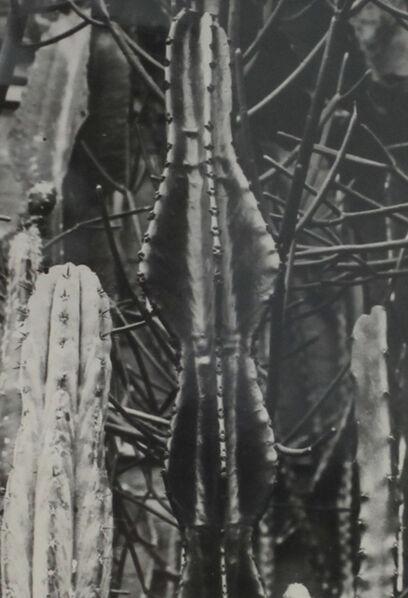 Albert Renger-Patzsch, 'Die Welt der Pflanze Euphorbia', ca. 1930