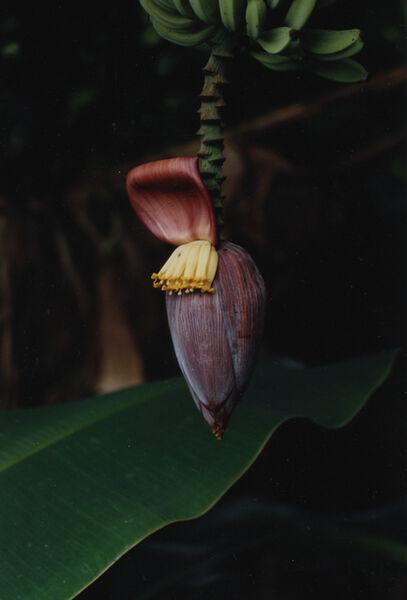 Daniel Gustav Cramer, 'Banana Plant', 2016