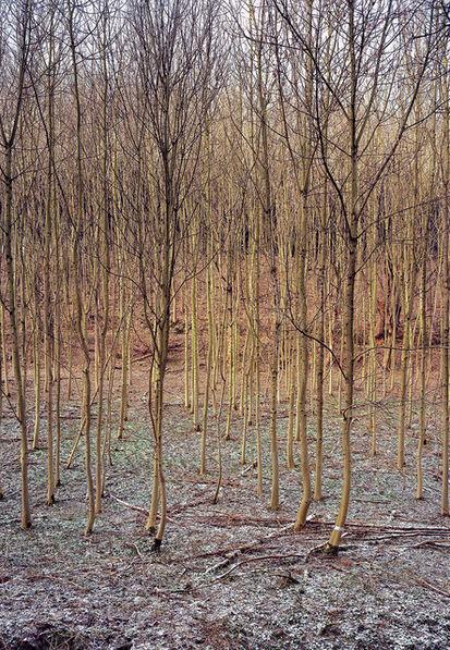 Simone Nieweg, 'Young Beech Tree Grove, Essen III, Ruhrgebiet', 2000