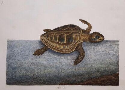 Mark Catesby, 'The Loggerhead Turtle', 1754