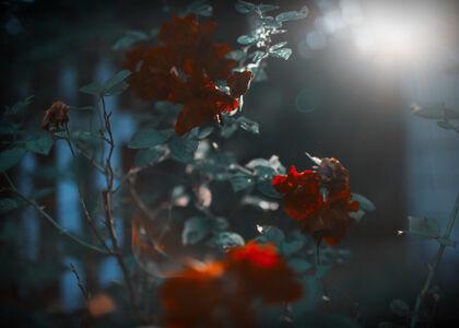 Rachel Hulin, 'Red Roses', 2014