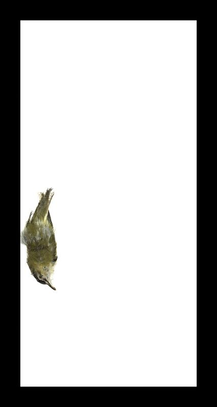 Thaddeus Holownia, 'Red-eyed Vireo', 2017, Photography, Archival pigment print, Corkin Gallery