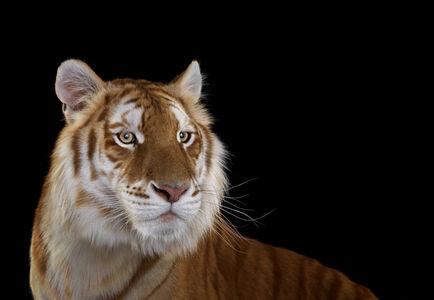 Brad Wilson, 'Golden Tiger, #1, Monterey, CA', 2014