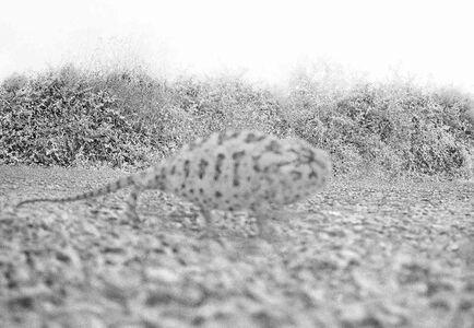 Alp Sime, 'Chameleon', 2015