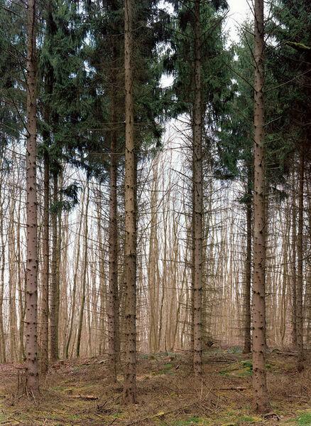 Simone Nieweg, 'Needle Tree Grove in Serrahn, Carpin Mecklenburg', 2015