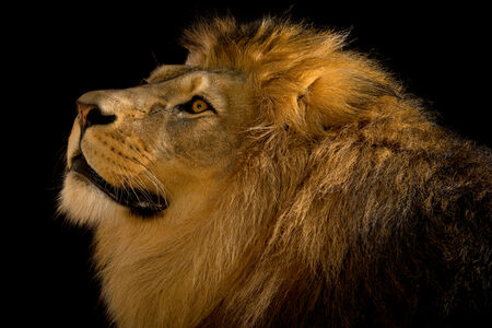 Joel Sartore, 'A Barbary lion (Panthera leo leo) at the Plzen Zoo in the Czech Republic', July-2015