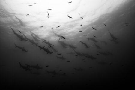 Cristina Mittermeier, 'Shark Squadron', Unknown