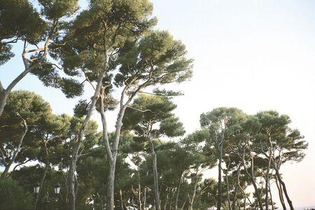Priscilla Rattazzi, 'Pines, Hotel du Cap, Antibes, France', 2003