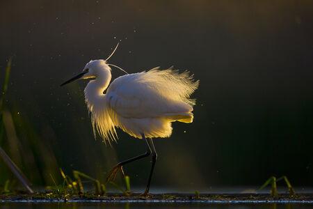 Maitham Almisry, 'Little Egret'