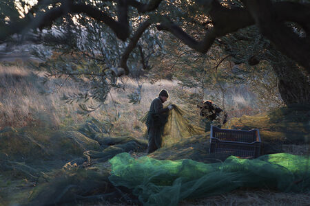 Rachel Cobb, 'Olive Harvest in a Mistral 1/5'