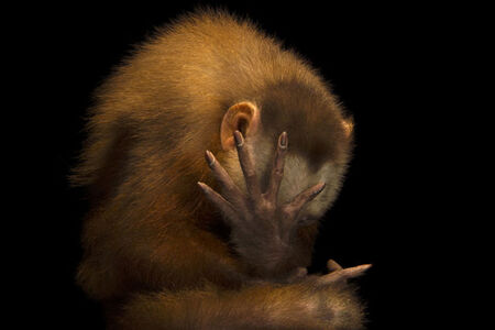 Joel Sartore, 'An endangered white fronted capuchin (Cebus versicolor) at the Summit Municipal Park in Gamboa, Panama'