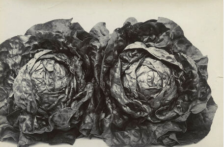 Charles Jones (1866-1959), 'Two Cabbage Lettuces' ', ca. 1900