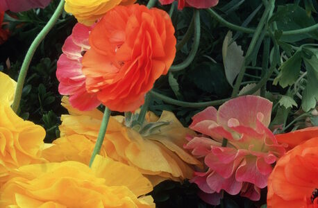 Ernst Haas, 'Ranunculus, Botanical Gardens, New York', 1974