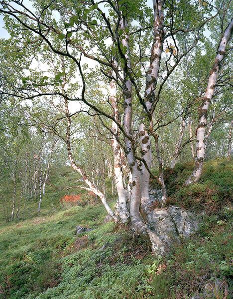 Simone Nieweg, 'Birch Trees at Kafjord, Finnmark', 2012