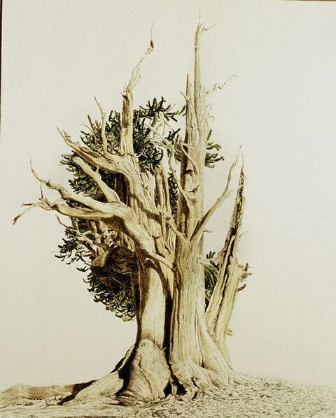 Anders Knutsson, 'Bristlecone Pine II, White Mtn, CA'
