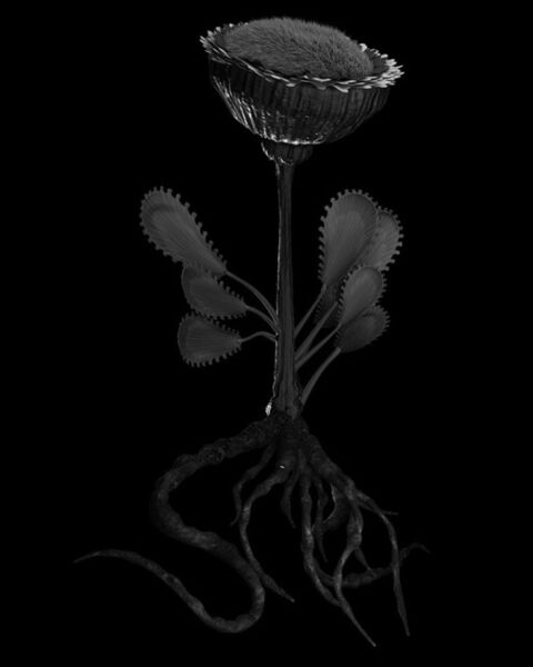 Miljohn Ruperto & Ulrik Heltoft, 'Voynich Botanical Studies, Specimen 50r JARO', 2013