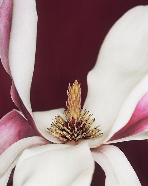 Helene Schmitz, 'Magnolia x soulangiana', 2003