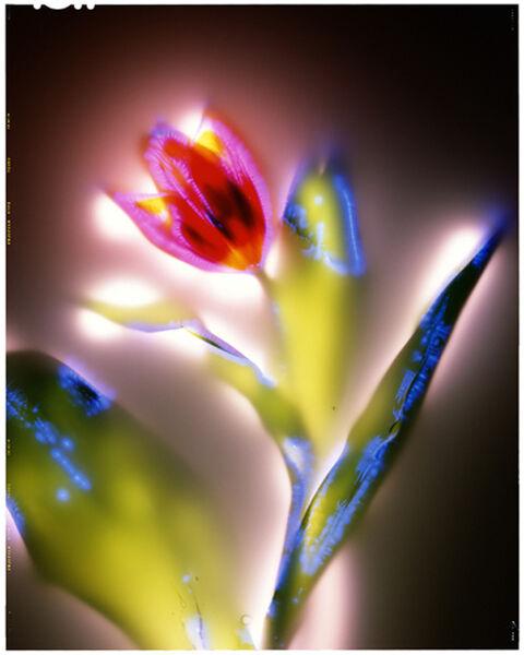 Robert Buelteman, 'Tulipa sp.', 2000