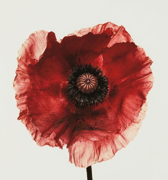 Irving Penn, 'Poppy: Burgundy, New York', 1968