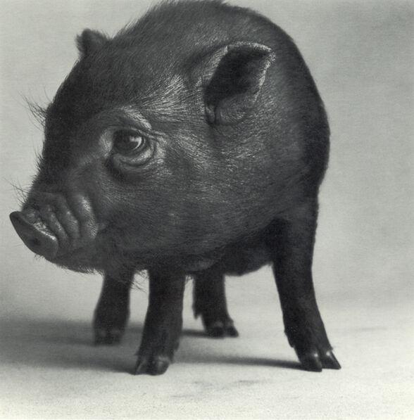 """Michael O'Neill, 'Pot-Bellied Pig, """"Sleeping Beauty""""', 1991"""