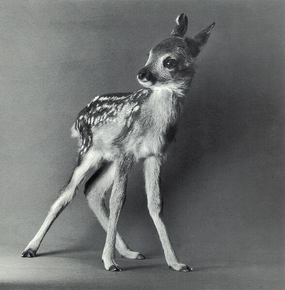 "Michael O'Neill, 'European Roe Deer, ""Muni""', 1991"