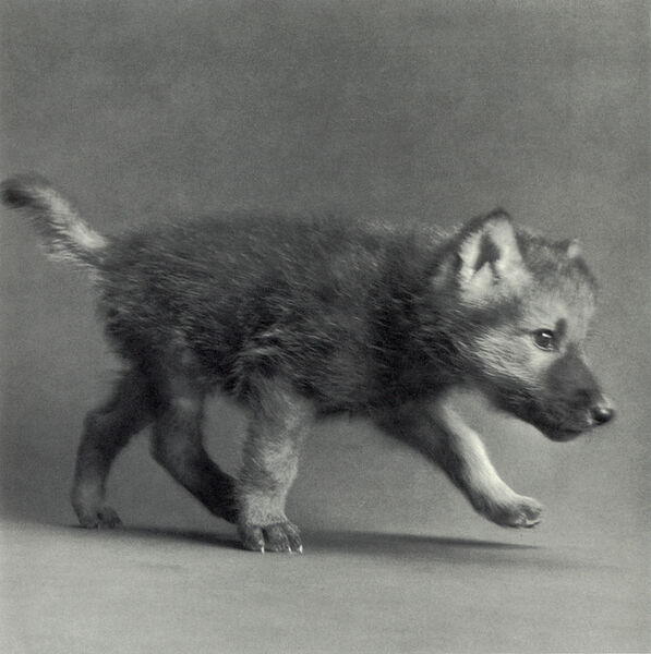 """Michael O'Neill, 'Timber Wolf, """"Coda""""', 1991"""