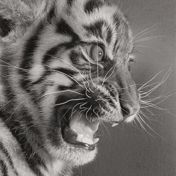 """Michael O'Neill, 'Sumatran Tiger, """"Besar""""', 1991"""