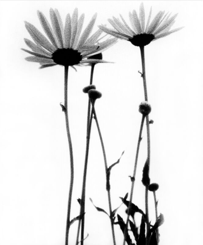 Sam Haskins, 'Three Daises', 1963, Photography, Vintage silver gelatin print, Grob Gallery