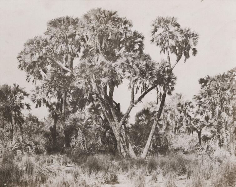 Maxime Du Camp, 'Palmiers Doums', 1850/1852