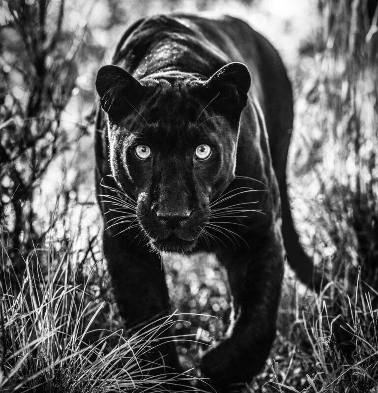 David Yarrow, 'Wakanda ', 2019, Photography, Digital Pigment Print on Archival 315gsm Hahnemuhle Photo Rag Baryta Paper, Samuel Owen Gallery