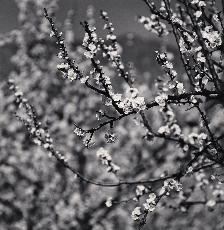 Michael Kenna, 'Apricot Tree Blossoms, Martiniana Po, Cuneo, Italy', 2019, Photography, Toned silver print, Robert Mann Gallery
