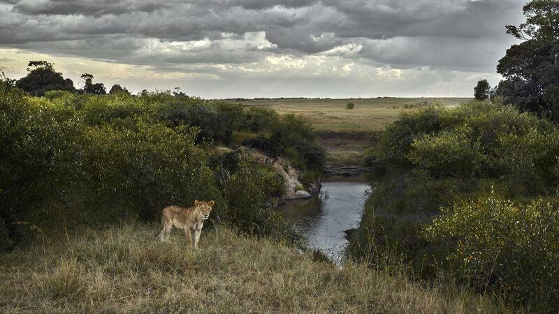 David Burdeny, 'One Eyed Lion, Maasai Mara, Kenya', 2019, Photography, Épreuve couleur / C-print, Galerie de Bellefeuille