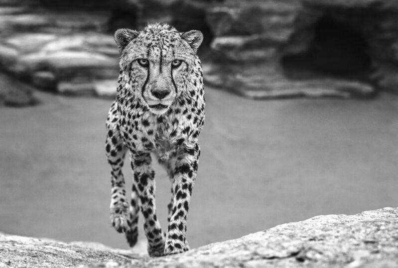 David Yarrow, 'Wet Cheetah', ca. 2018, Photography, Archival Pigment Print, Samuel Lynne Galleries