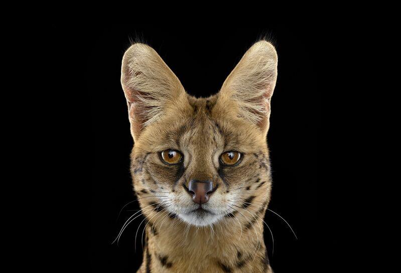 Brad Wilson, 'Serval #1, Albuquerque, NM', 2013, Photography, Archival Pigment Print, photo-eye Gallery